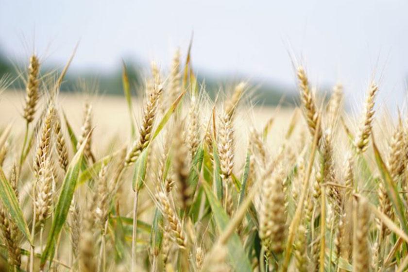 کاربرد سیستم آبیاری قطره ای نواری (تیپ) در زراعت گندم ۱