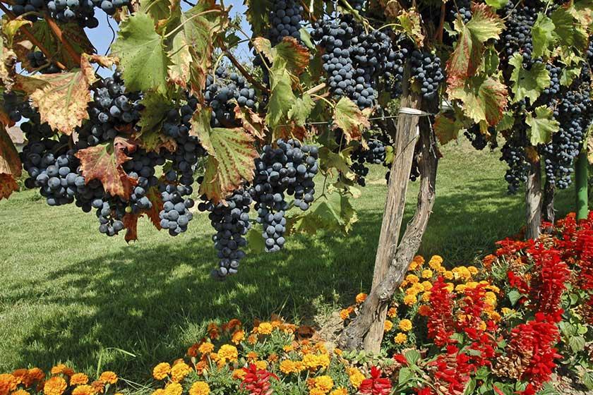 راه های کاهش مصرف آب در باغ های انگور