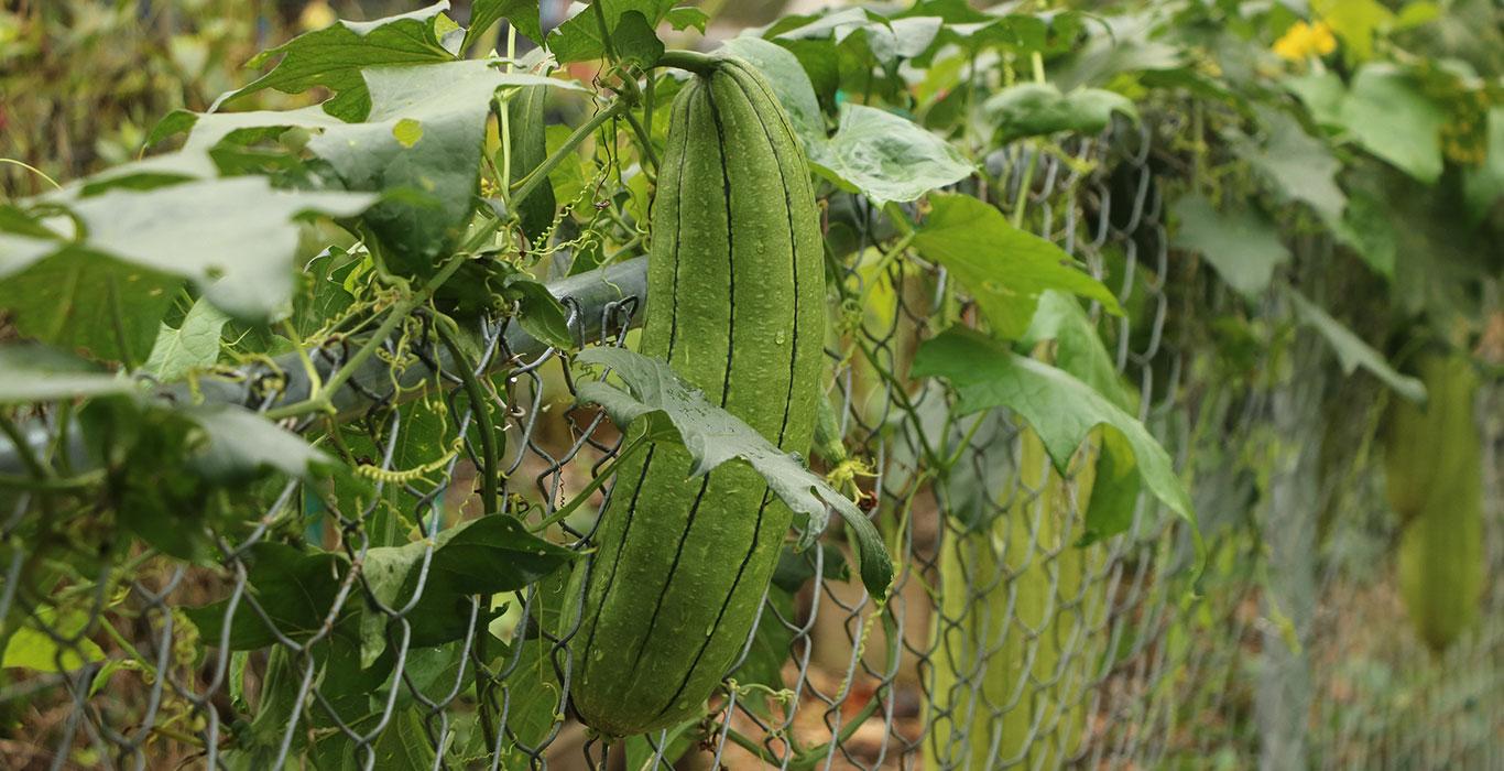 «لوفا» میوه پارچهای؛ محصولی با نیاز آبی کم و خاصیت فراوان