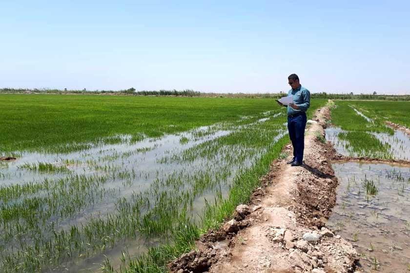 کشت بی رویه شلتوک در حوزه کرخه و هشدار مدیرعامل سازمان آب و برق خوزستان