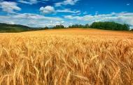 تولید و تجاریسازی چهار رقم بذر گندم مقاوم به کمآبی