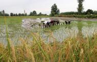 کشت برنج به جز استانهای مازندران و گیلان به صلاح نیست