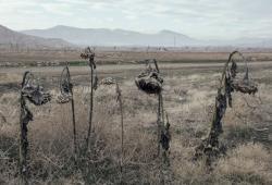 خشکی مزارع در حوضه آبریز دریاچه ارومیه- عکس از سولماز دریانی