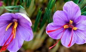 کشت زعفران مناسب برای مناطق کوهستانی و خشک گیلان