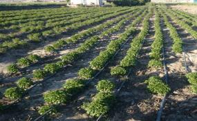 طرح کشت گیاهان دارویی در حوضه دریاچه ارومیه اجرا می شود