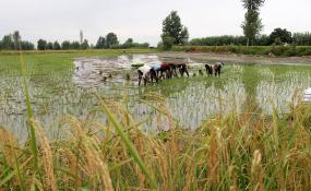 آبیاری نواری روشی نوین در کشت برنج
