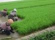 محدودیتها و ممنوعیتها کشت برنج خارج از استانهای گیلان و مازندران