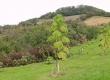 درخت پالونیا؛ دشمن منابع آبی و محیط زیست